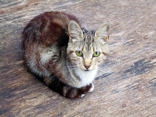 「cat」,「kitty」,「pussycat」の意味とニュアンス