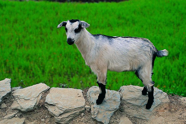 goatの他の意味と使い方