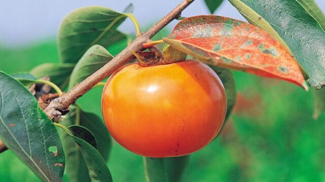 「柿」は英語で何という? 語源や発音、アクセントの言い方も紹介
