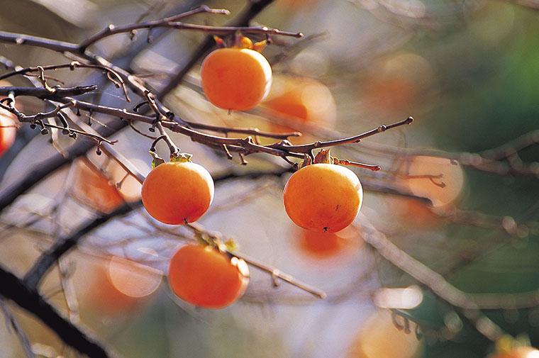 英語で「柿」という際の言い方「persimmon」について