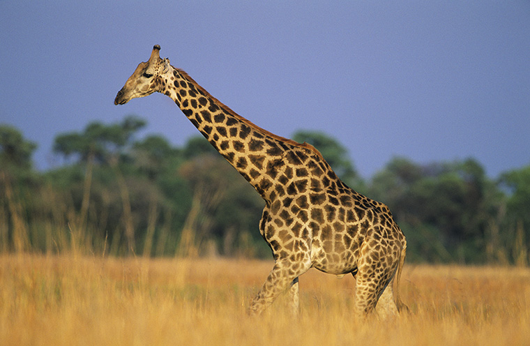 英語で「キリン」の意味という意味の英単語「giraffe」の使い方、発音