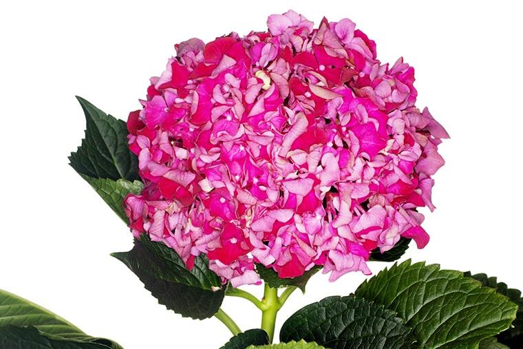 英語でアジサイという意味になる「hortensia」という言い方について