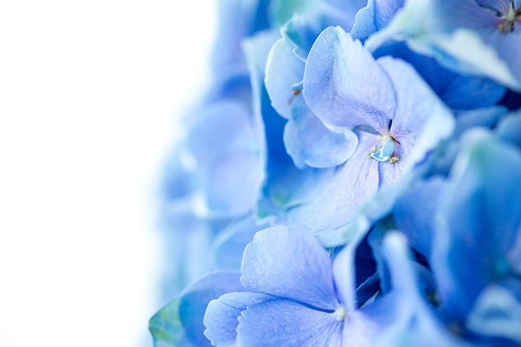 英語でアジサイ(紫陽花)という意味になる「hydrangea」という言い方