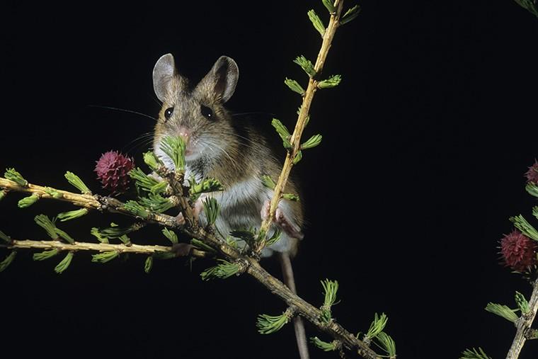 英語でネズミという意味になる「mouse」の使い方は? ratとの違いは?