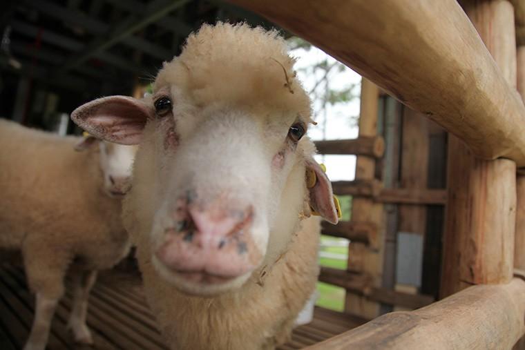 英語で「羊の雄」,「羊の雌」,「羊の子供」は何と言う?