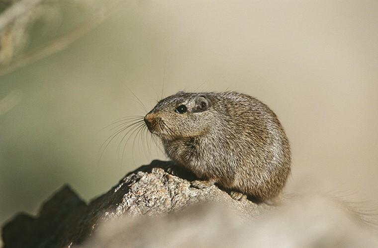 英語の「rat」とはどんな意味? 使い方は? mouseとの違い