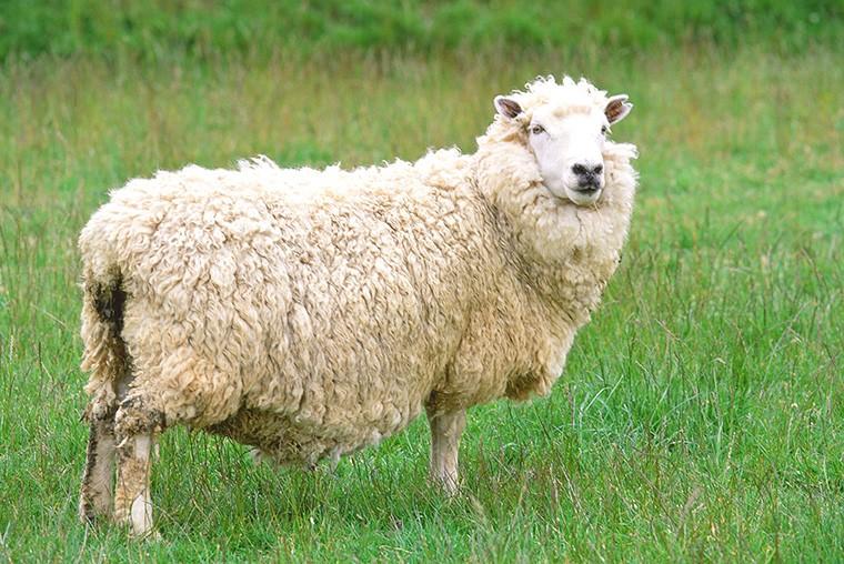 羊は英語で何という? 羊の複数形は何?「ラム」も羊という意味?