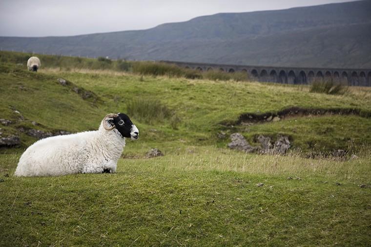 英語で羊という意味になる「sheep」という英語について