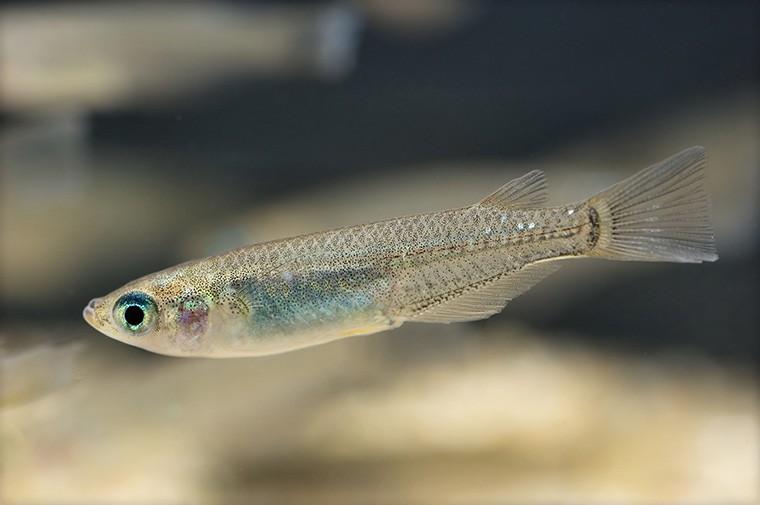 「めだか」という意味になる英語「Japanese rice fish」